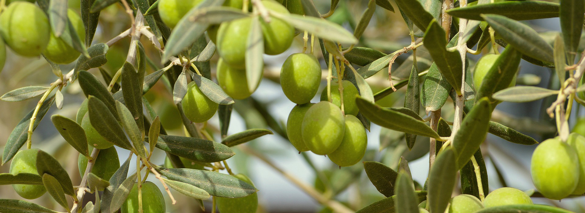 olive real